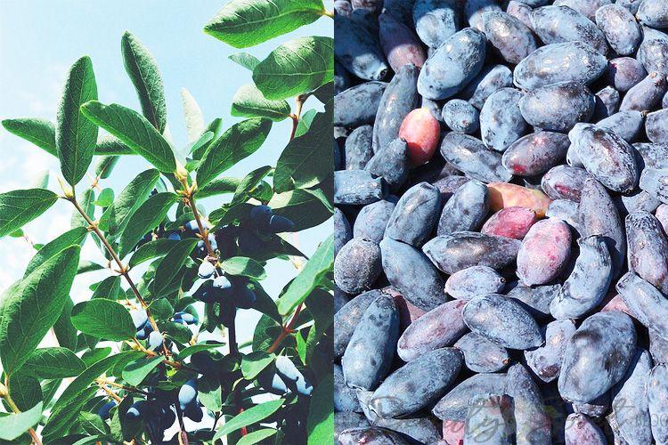 Синяя ягода — жимолость